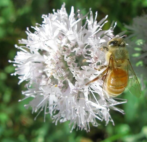 Bee on Monardella odoratissima - Apis mellifera