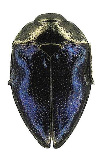 Pachyschelus nicolayi Obenberger - Pachyschelus nicolayi - female