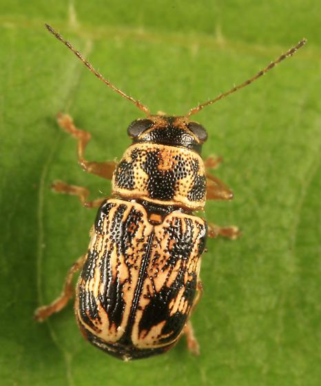 casebearer - Pachybrachis obsoletus