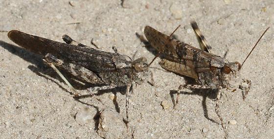 Pine Bluffs Grasshoppers_Trimerotropis fratercula - Trimerotropis fratercula - male - female