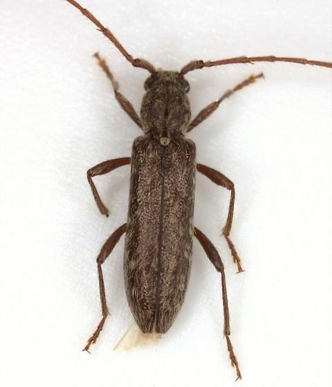 Anelaphus villosus (Fabricius) - Anelaphus pumilus