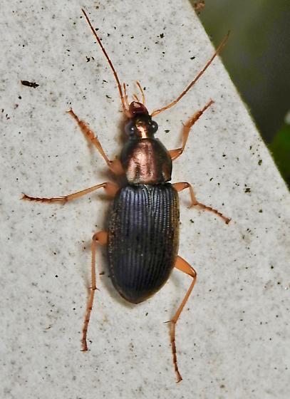 subgenus Chlaeniellus? - Chlaenius tricolor