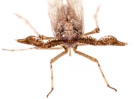 Copicerus irroratus? - Copicerus irroratus