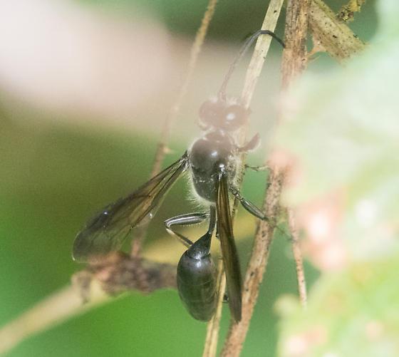 Grass-carrying Wasp (Isodontia mexicana)? - Isodontia mexicana