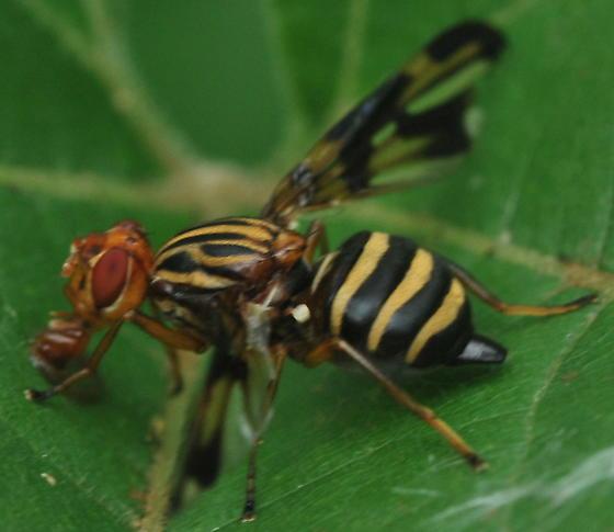 Diptera - Idana marginata