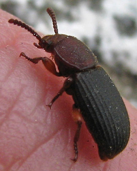 Darkling Beetle found in the company of ants - Apsena pubescens