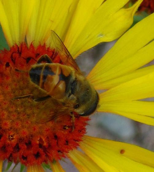 MT pollinators - Eristalis tenax