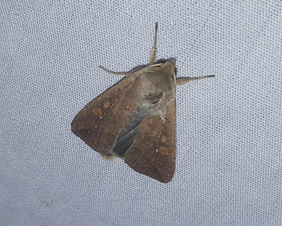 Armyworm Moth - Hodges#10438 - Mythimna unipuncta
