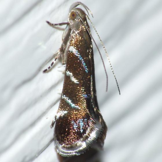 Twirler - Strobisia proserpinella