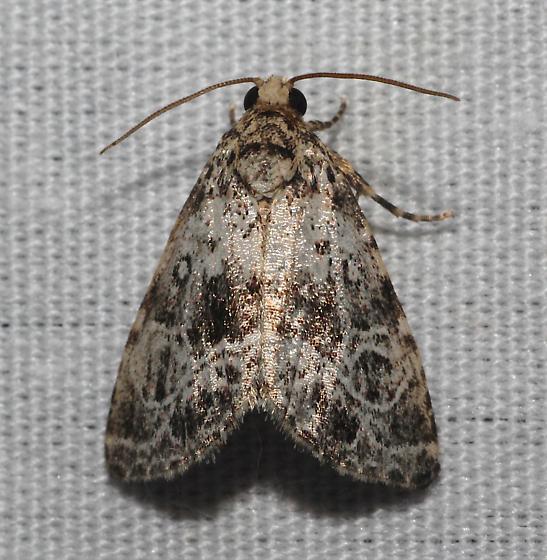 Eustrotiini Owlet Moth 2 - N-genus n-sp
