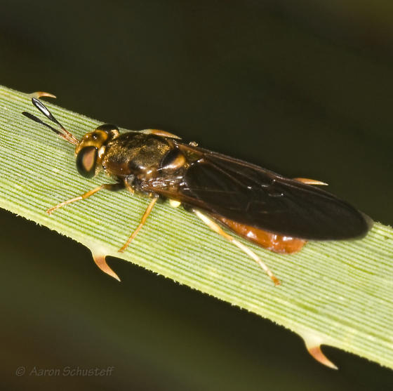 Another Hermetia from the gathering - Hermetia concinna