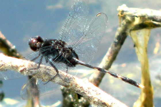 Black dragonfly with dark red eyes - Erythemis plebeja