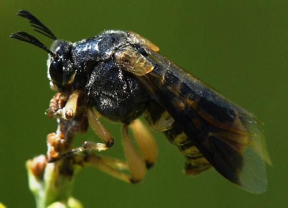 Clear wing Beetle - Ripiphorus