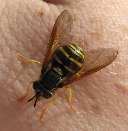Syrphidae 7-13-11 01a - Chrysotoxum