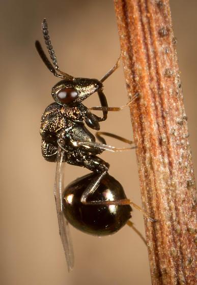 Chalcid - Orasema occidentalis