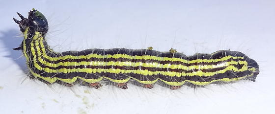 Yellow striper caterpillar - Datana