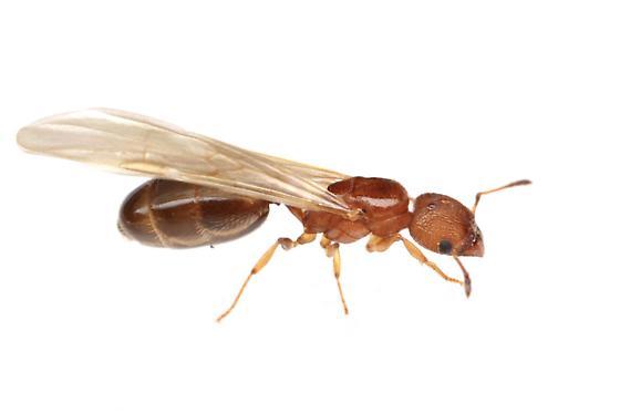 Pheidole metallescens - female
