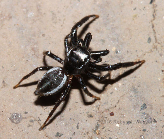 Undetermined jumping spider - Messua limbata - male