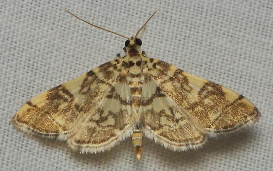 The brown scribble moth - Apogeshna stenialis