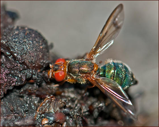 Signal Fly - Senopterina varia