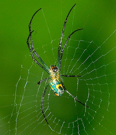 Spider - Leucauge argyrobapta