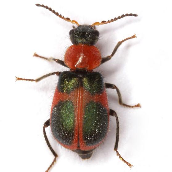 Collops quadrimaculatus (Fabricius) - Collops quadrimaculatus - female