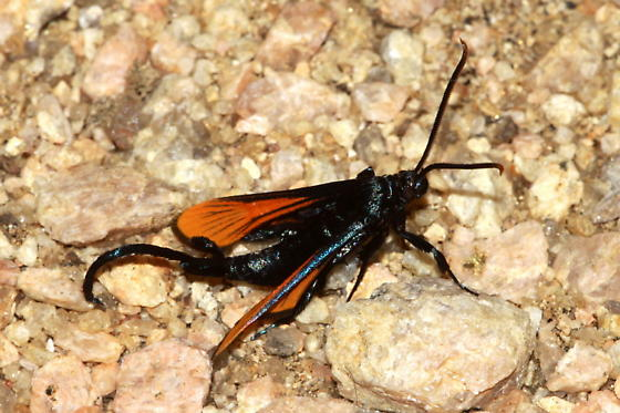 Moth - Alcathoe autumnalis - male