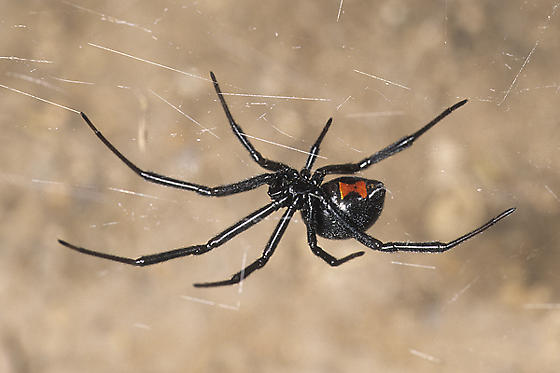 Western Black Widow - Latrodectus hesperus - female