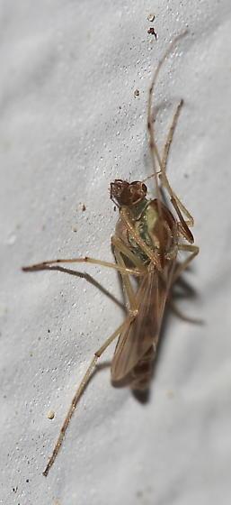 Midge - Chironomus - female