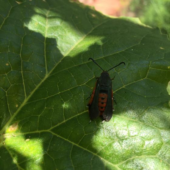 Red and black bug - Melittia cucurbitae