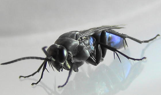 Blue Streaks (side angle) - Psorthaspis planata - male