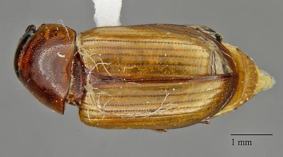 Scarabaeidae: Aphodius sp.?