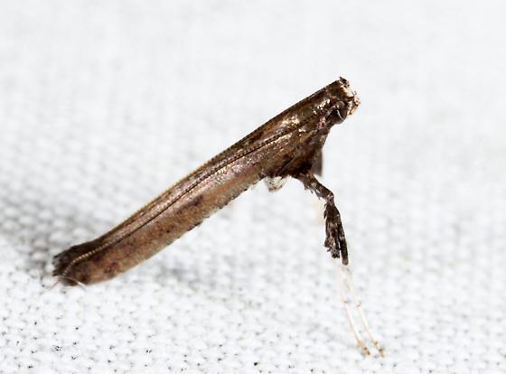 Sumac Leafblotch Miner - Caloptilia rhoifoliella