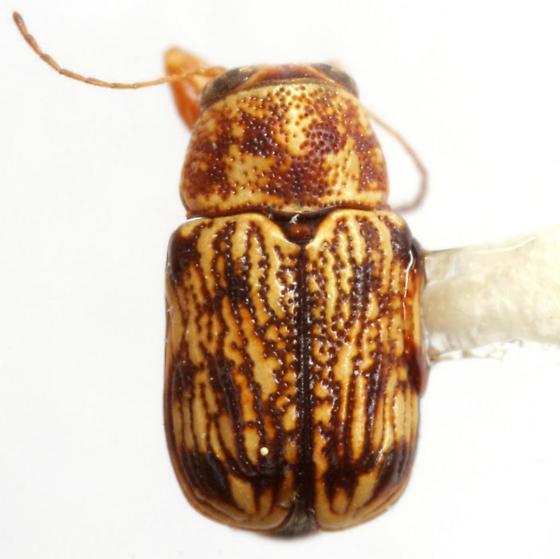 Pachybrachis obsoletus Suffrian - Pachybrachis obsoletus