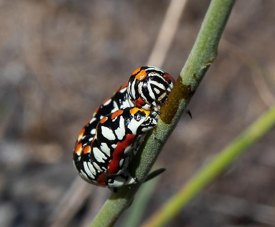 hooded owlet caterpillar - Cucullia dorsalis