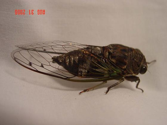 Cicada - Neotibicen similaris