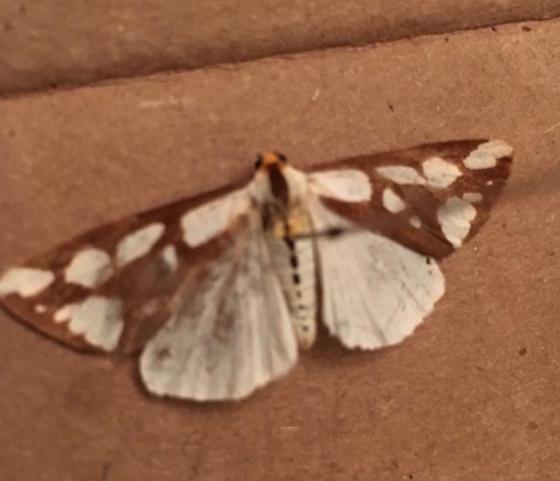 Moth - Haploa confusa
