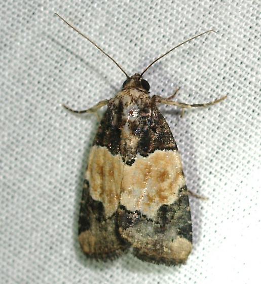 Moth - Bryolymnia biformata