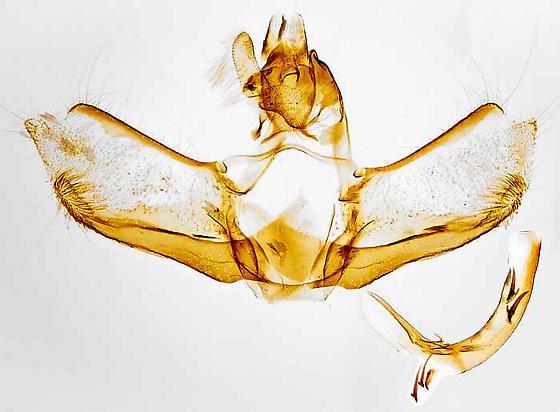 genitalia - Acleris stadiana - male