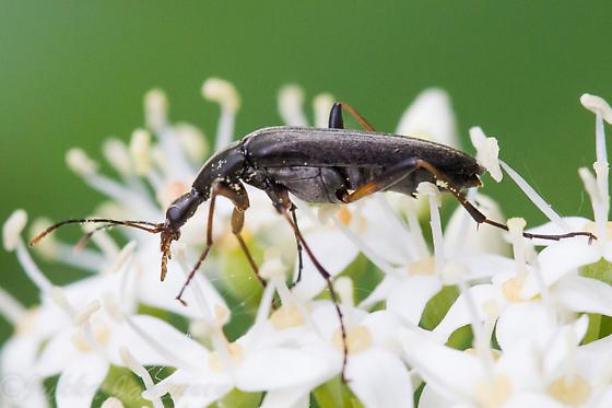 Beetle - Cephaloon bicolor
