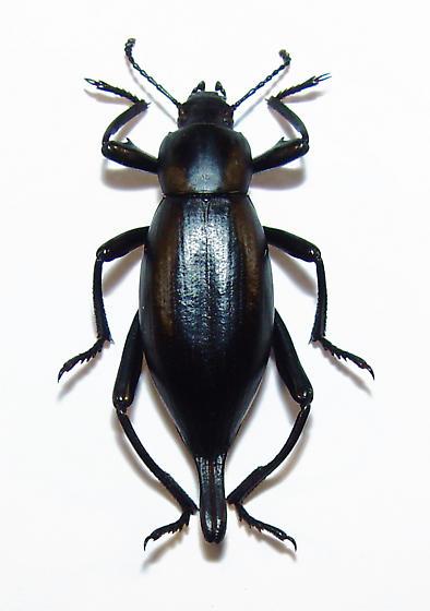 Unidentified Teneb - Eleodes eschscholtzii