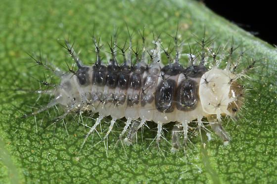 Steelblue Ladybeetle - Halmus chalybeus