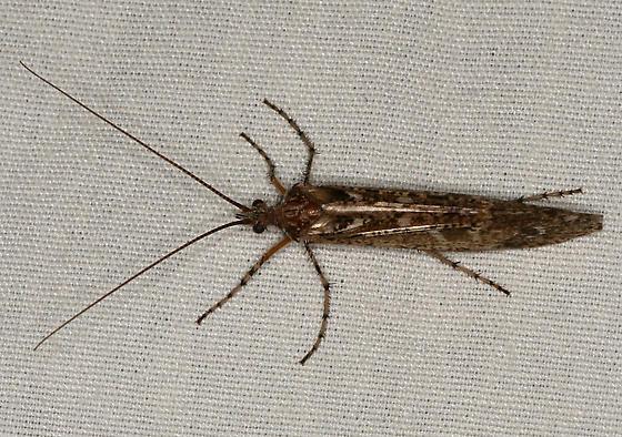 large caddisfly