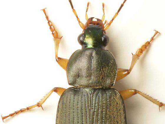 Chlaenius vafer - male