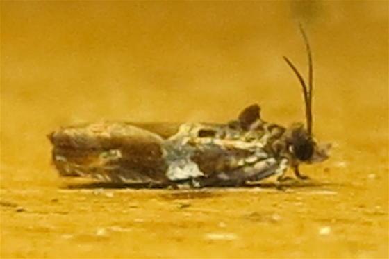 Cacocharis  - Cacocharis cymotoma