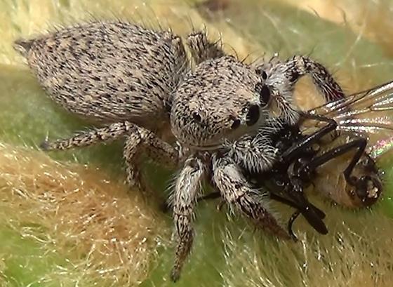 Jumping Spider Meal-time - Habronattus hirsutus - female