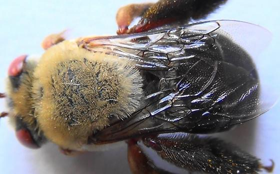 Digger Bee with Red Parts - Centris rhodopus - female