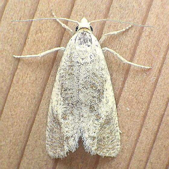 Tortricidae: Sparganothis vocaridorsana - Pelochrista subflavana