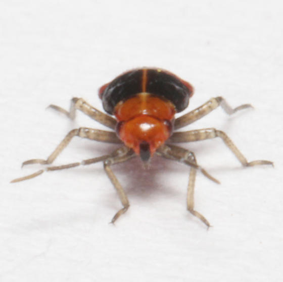 Miridae, Four-lined Plant Bug, frontal - Poecilocapsus lineatus
