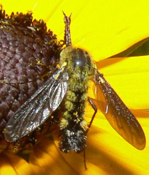 Hairy Green Wasp or Bee - Lepidophora lutea